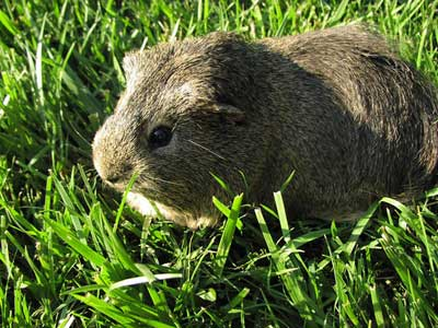 Can You Use Dog Or Cat Shampoo On Guinea Pigs