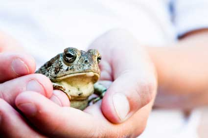 a study on frogs and its life cycle A frog is an amphibian which begins its life in the water breathing through gills it transforms from this larval study guide about the life cycle of a frog.