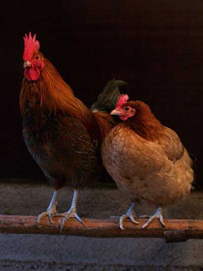 Difference Between Hen And Rooster