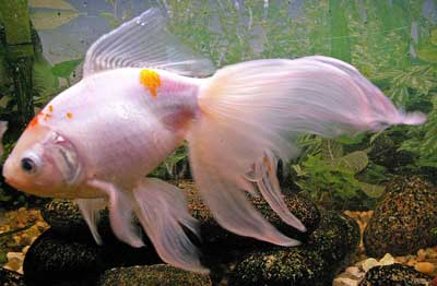 Type of freshwater fish what do koi fish symbolize largest catfish in the world for Koi fish life span