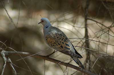 Turtle Indian Meaning Meaning of Turtle Doves