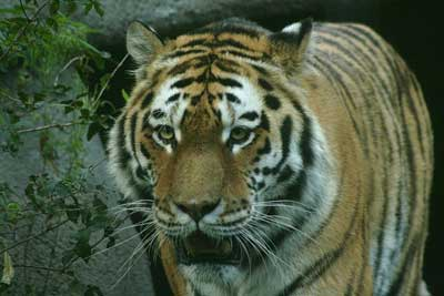 How Fast Can A Bengal Tiger Run What Do Siberian Tigers