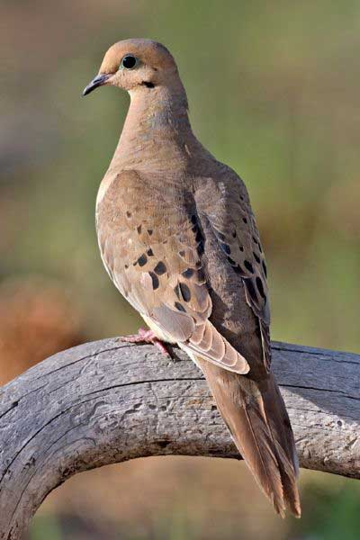 Symbolism of mourning doves