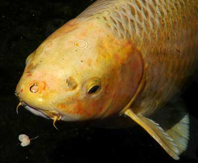 What do koi fish symbolize how to set up a koi pond how for Can you eat koi fish