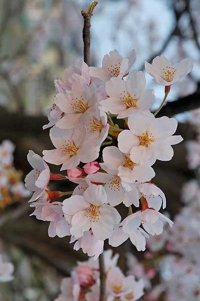history of cherry blossom festival in japan , when is cherry