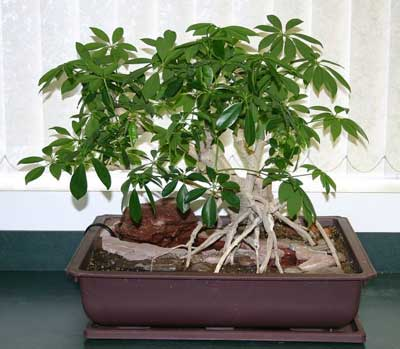 Corkscrew hazel how to bonsai a maple tree how to care for a ficus
