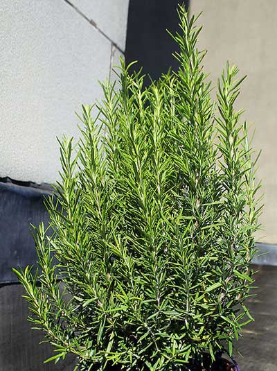 How To Prune A Rosemary Shrub