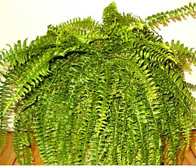 how to take care of a boston fern. Black Bedroom Furniture Sets. Home Design Ideas