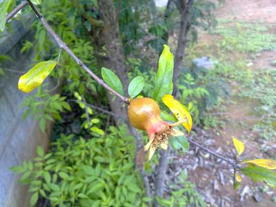 What Parts Of A Pomegranate Can You Eat
