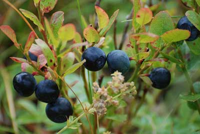 how to make soil more acidic naturally blueberries