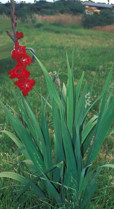 When To Plant Gladiolus Bulbs